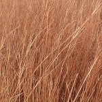 Little Bluestem (Schizachyrium scoparium) - Seed